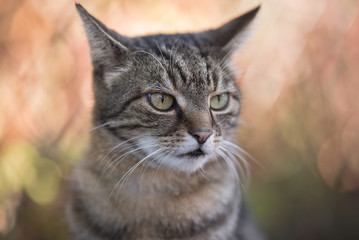 close up portrait of a tabby domestic shorthair cat outdoors