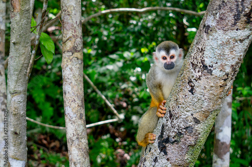 The common squirrel monkey is a Neotropical primate