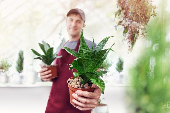 gardener holding who sansevieria plants in pots