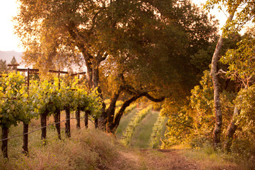 Sunrise in the vineyards, Napa Valley