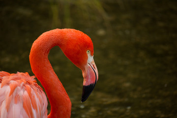 Aluminium Prints Flamingo animales