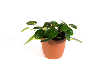 Isolated Pilea Plant on a White Background