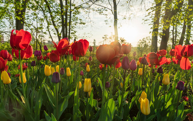 Ottawa Tulip Festival 2019 - Colorful tulips covered in raindrop at sunrise with Experimental Farm and NCC Scenic Driveway in the background