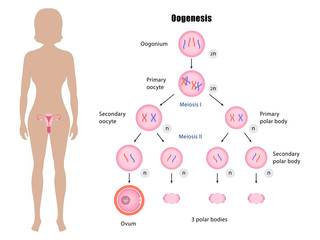 Female reproductive system and oogenesis vector ESP10