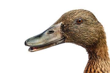 Brown Khaki Campbell duck on a white background. Wall mural