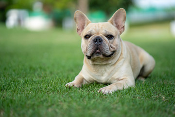 Cute french bulldog is playing sitting down in the park to let it's owner taking the picture