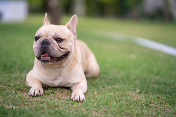 Cute french bulldog is posting picture in front of the owner.