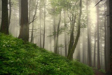 Foggy forest with sun beams. Fresh vegetation in  spring rain forest near Portland. Oregon. United States of America