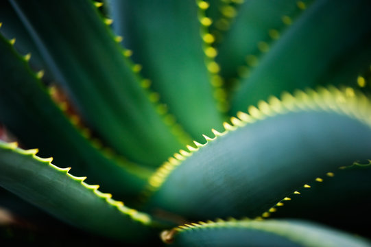 Close-up of Krantz aloe (Aloe arborescens) leaves. Selective focus and shallow depth of field.
