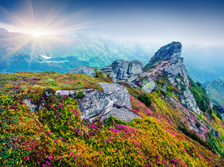 Colorful summer view of fields of blooming rhododendron flowers. Splendid morning scene of Carpathian mountains in June, Ukraine, Europe. Beauty of nature concept background.