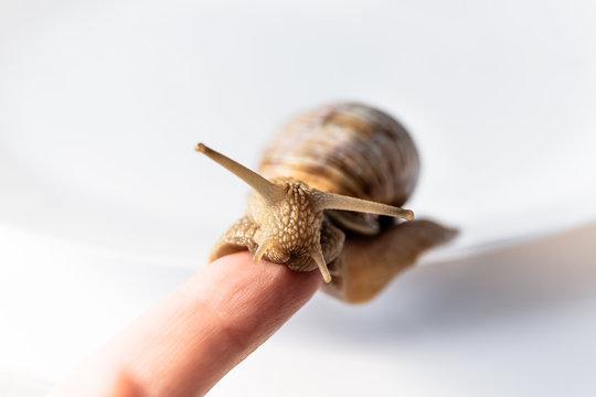 Garden snails on the finger isolated on white background