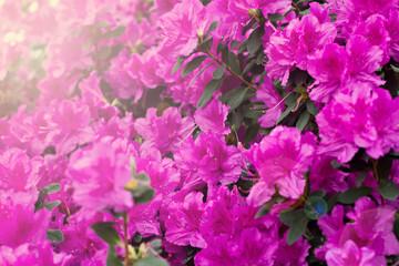 Aluminium Prints Azalea Azalea flowers. Pink azalea