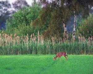 Grazing roe deer doe in farmland in spring.