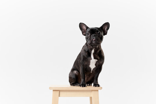 Puppy Black French bulldog sitting and looking on camera , isolated on white