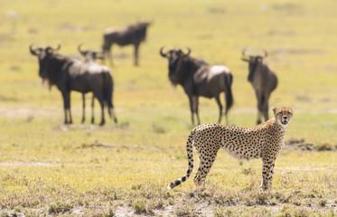 Cheetah in Masai Mara Game Reserve, Kenya Wall mural