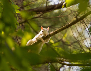 Brevard White Squirrel on Tree Limb