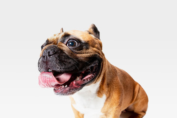 Wall Mural - Young French Bulldog is posing. Cute white-braun doggy or pet is playing and looking happy isolated on white background. Studio photoshot. Concept of motion, movement, action. Negative space.