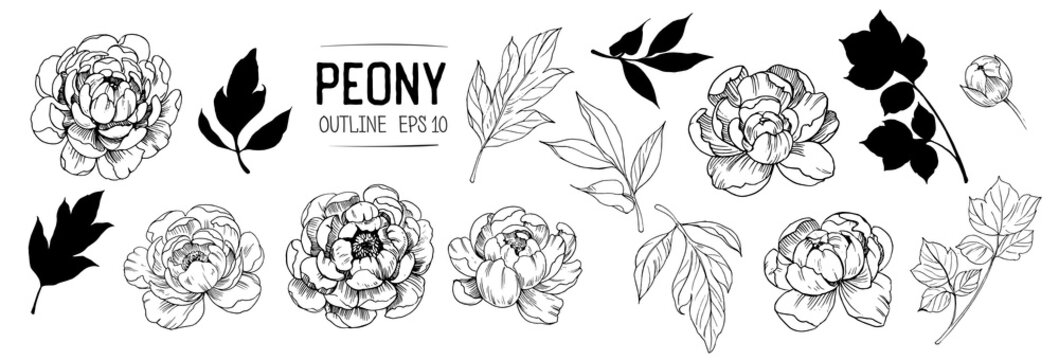 Set of peonies outlines with leaves. Floral elements for design. Vector. Isolated