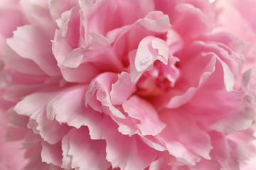 Fragrant peony as background, closeup view. Beautiful spring flower