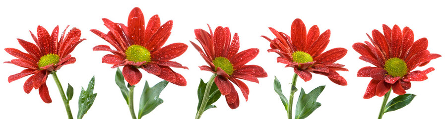 isolated image of beautiful red flowers close up