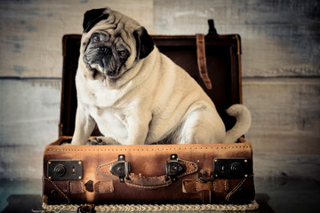Travel concept with funny dog pug sitting inside an old vintage beautiful cabin bag luggage - wooden background and life with animals concept - wanderlust people traveling the world