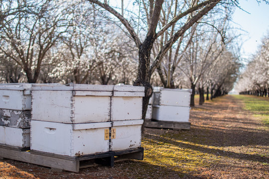 bees in almond orchard