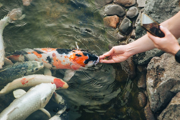 Feeding the hungry funny decorative Koi carps in the pond. Women's hand hold fish food. Animal care concept. Close up. The process of photographing a smartphone camera.