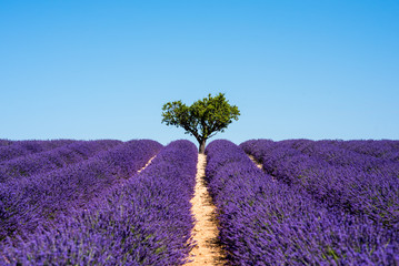 Blooming Lavender Fields in Provence Alps Cote d'Azur France