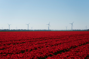 Aluminium Prints Tulip Bright red tulp field with pure holland dutch wind turbines in the background. Bright white blue neutral sky. Red farmland tulp flower field.