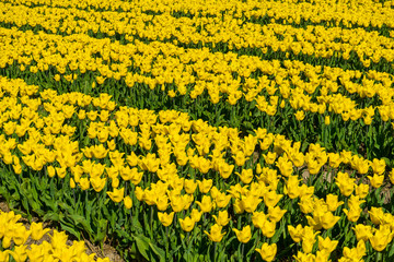 Foto auf Acrylglas Tulpen Left to right yellow and green dutch tulp field patern. Bright sunlight traditional holland tulp field from a farmer' s land. Vibrant color just background tulp flowers.