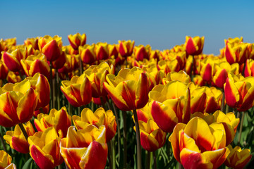 Foto auf AluDibond Tulpen Traditional holland tulps with yellow and red bright vibrant light and color. perfectly blue sky and composition. Pure colors red and yellow dutch tulp flowers.