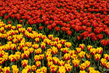 Foto auf AluDibond Tulpen Two different color rows of dutch tulps. Red tulps and yellow tulp flowers. Row of tulps on a farmland super bright light and vibrant colors.