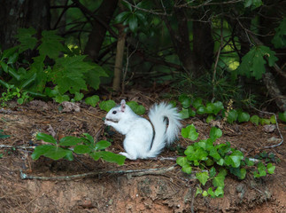 White Squirrel Pausing on the Forest Edge