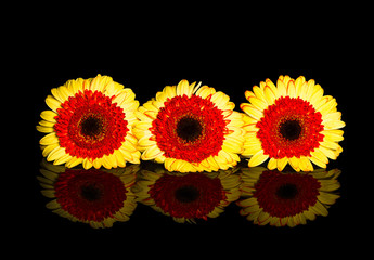 Three Yellow Gerbera Flowers Showing Reflection on Black Backgound