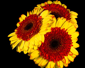 Bunch Yellow Gerbera Flowers Isolated on Black Background