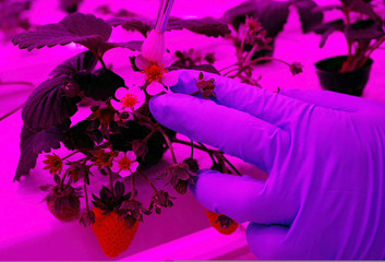 An employee pollinates a strawberry plant at Sustenir Agriculture's indoor farm in Singapore