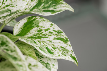"Scindapsus aureus ""Marble Queen"" pothos vine leaves against a neutral grey background"