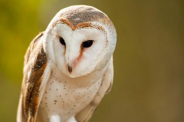 Beautiful Barn Owl Fototapete
