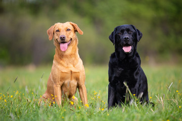 Two labradors sitting on a spring meadow