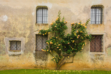 Orange roses growing against an historic building in north east Italy