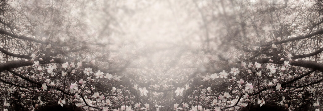 Mysterious spring floral background with blooming magnolia flowers