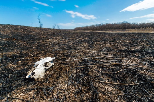 The cow skull lying on the field ground after big wildfire