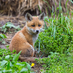 close-up cute young baby red fox cub (vulpes) sitting
