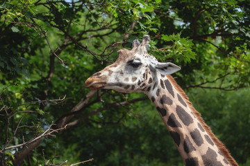 portrait of a giraffe on a background of trees. beautiful animal eating leaves