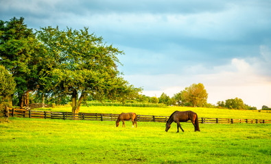 Two horses grazing on a farm in Central Kentucky