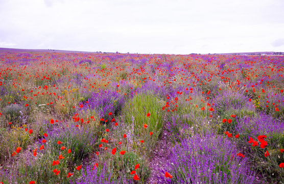 Field with flowering lavender and poppies