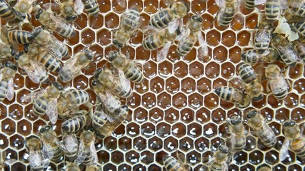 Wall Mural - Bees produce honey in the hive. View of the hive from the inside.