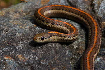 Snake closeup with sharp background