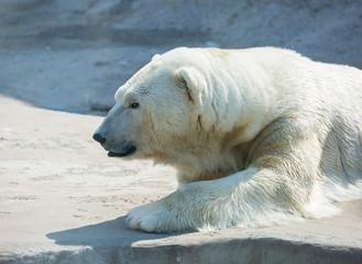 Printed roller blinds Polar bear Polar bear. Polar bear is a typical inhabitant of the Arctic. The polar bear is the largest member of the entire Carnivora.