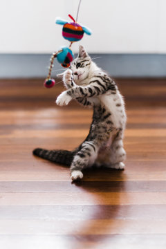 kitten playing with toy